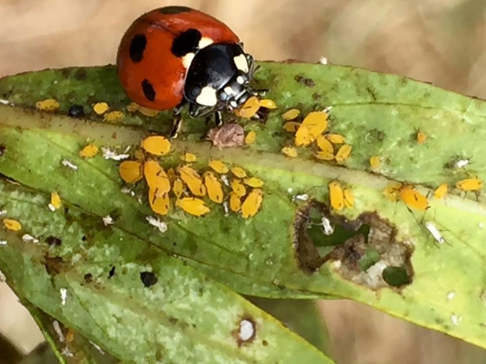 apestchapterladybugs